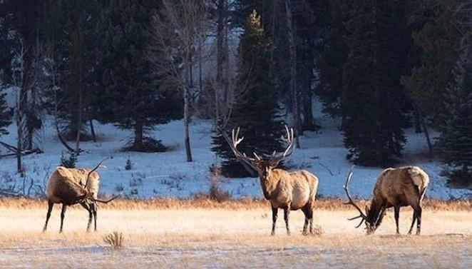 CPW elk crop