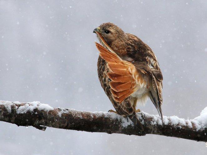 Redtailed hawk Cornell